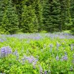 Lupine meadows