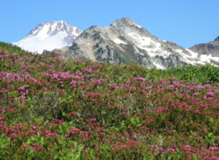 Glacier Peak adorned in Pink Heather